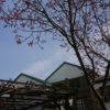 郡上でも桜が咲き始めました