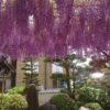 今が見頃の浄因寺さんの藤
