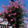 サルスベリの花が咲きました